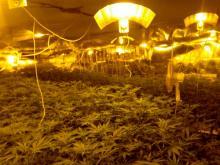 Zlikwidowano ogromną plantację marihuany
