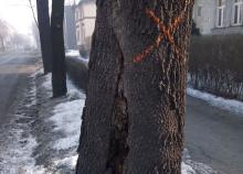Wycinka drzew przy Wojska Polskiego już wkrótce