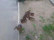Strażnicy na pomoc... kaczkom