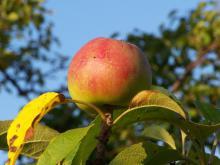 Unia pomoże ocalić zapomniane gatunki owoców