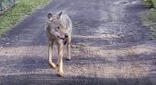 Czy to wilk chodzi po ulicach w Cieplicach?