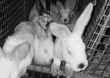 Złodziej królików