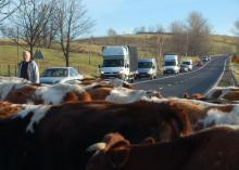 Krowa naprzeciwko tira