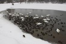 Łabędzie i kaczki uwięzione w stawie